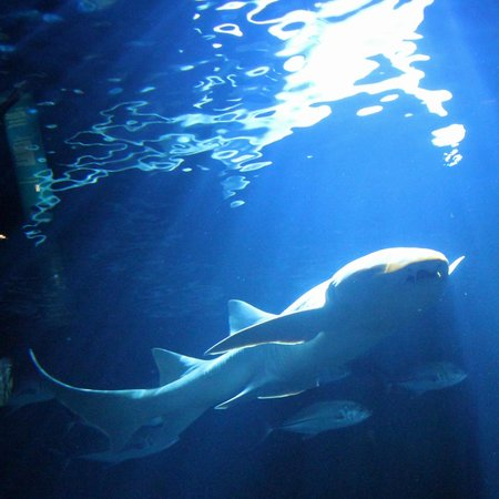 Aquarium de la Réunion : Requin