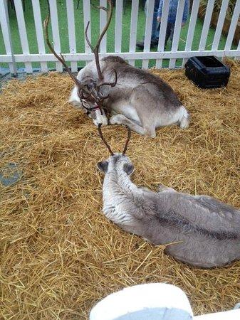 Brambridge Park Garden Centre Restaurant: Reindeers visiting Brambridge