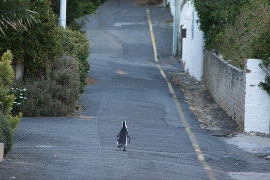 Boulders Beach Lodge and Restaurant: Pingouin se promenant dans une rue