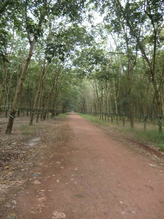 Ann Tours : Rubber plantation that we stopped by.