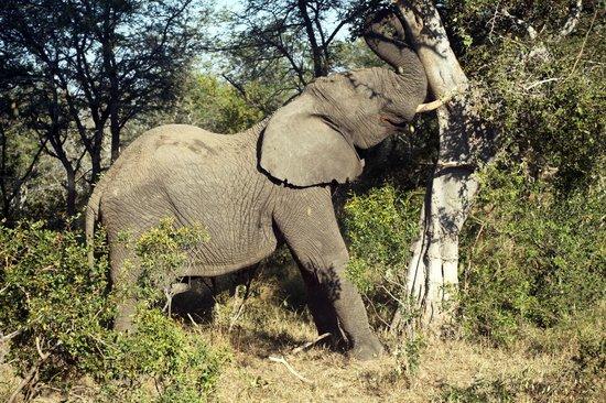 Thornhill Safari Lodge: Shake it Baby!
