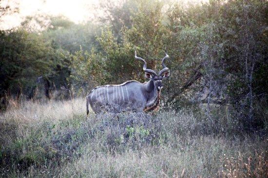 Thornhill Safari Lodge: Nice horns!