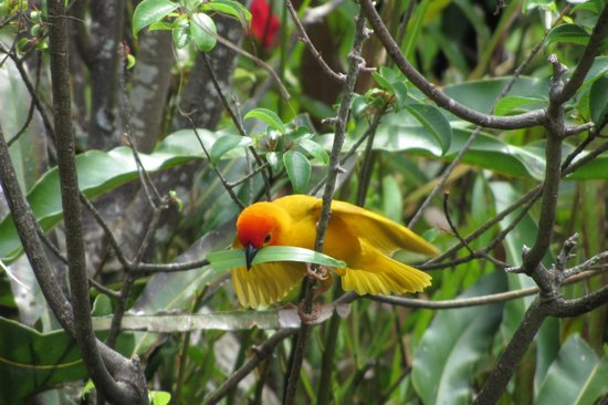 Turtle Bay Beach Club: Weaver bird in gardens