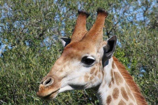 Amakhala Safari Lodge: Giraffes all around, maybe 20 in this herd