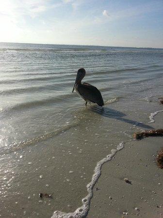 Pink Shell Beach Resort & Marina: Pelican enjoying the Pink Shell Resort