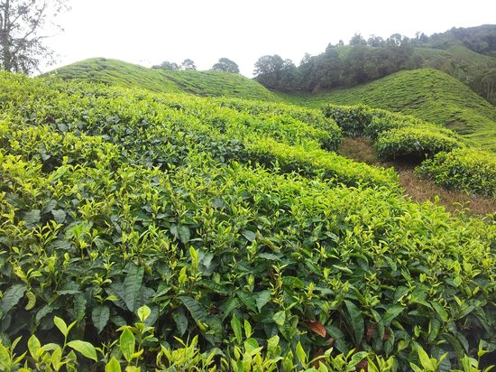 MM Adventure Travel and Discovery : Tea Plantation in Cameon Highlands