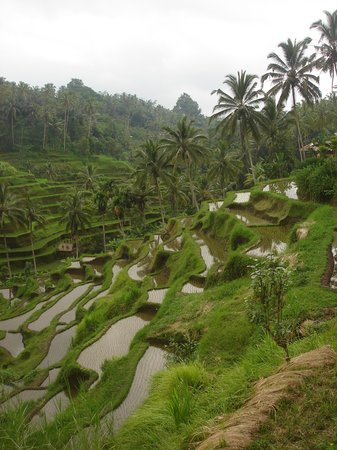 Tegalalang Rice Terrace: Rice terrace fields of Ubud in Bali