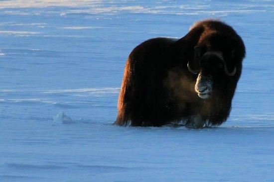 Yukon Wildlife Preserve: Musk Oxen
