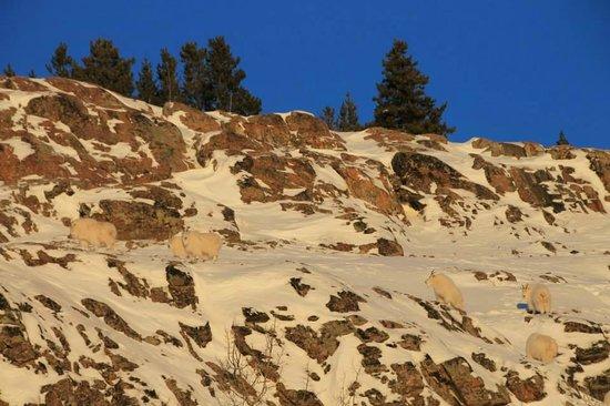 Yukon Wildlife Preserve: Mountain goats