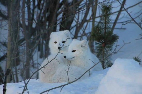 Yukon Wildlife Preserve: Artic fox