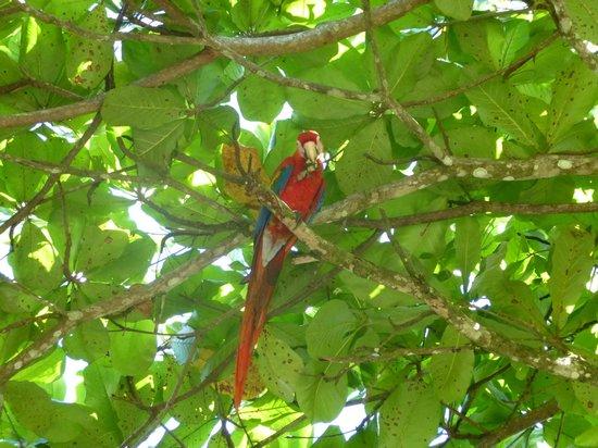 Lapa Rios Ecolodge Osa Peninsula : Scarlet Macaw