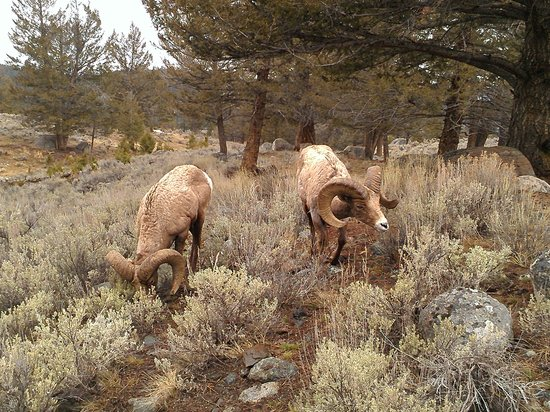 Flying Pig Adventure Company: Bighorn Sheep in Yellowstone
