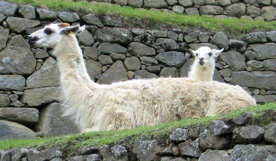 Machu Picchu Viajes Peru : Machu Picchu - Alpacas