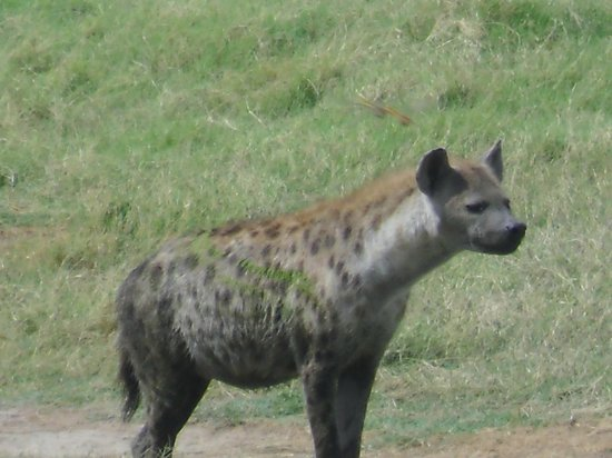 Gamewatchers Adventure Camp, Selenkay: Hyena