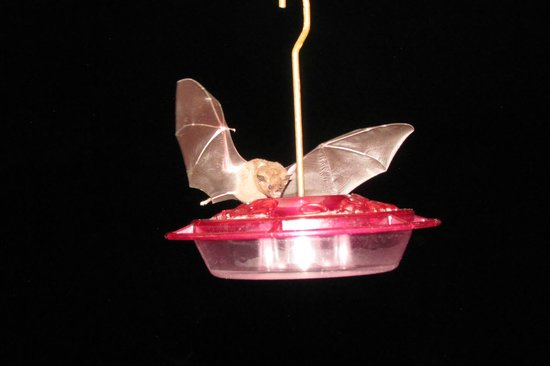 Asa Wright Nature Centre and Lodge : Bat at the feeder after dark
