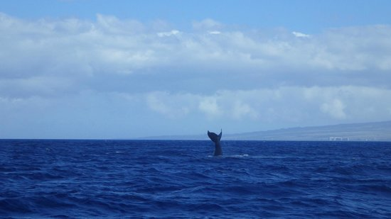 Pacific Whale Foundation: Whale diving