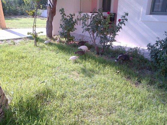 Aphrodite Hotel & Suites: Neighbors chickens