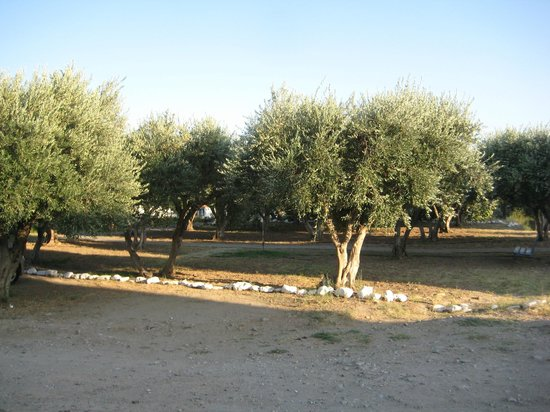 Aphrodite Hotel & Suites: Olive and fig trees