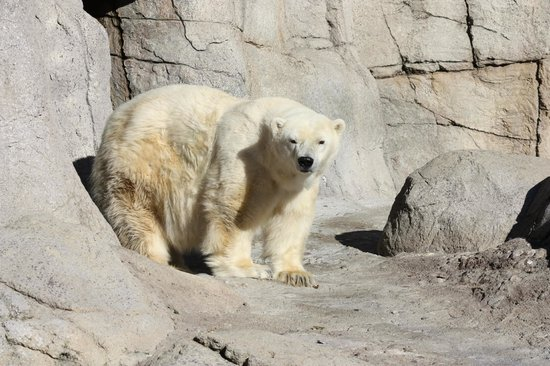 Indianapolis Zoo: Polar Bear