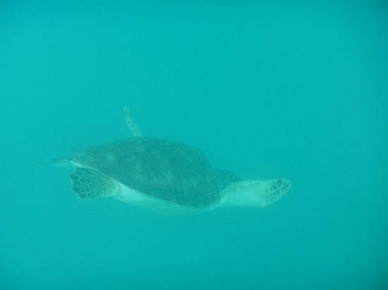 St. Thomas Diving Club: Sea turtle swimming