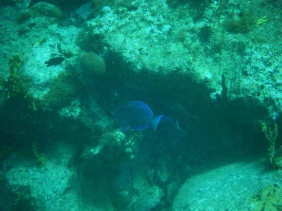 St. Thomas Diving Club: blue tangs swimming around