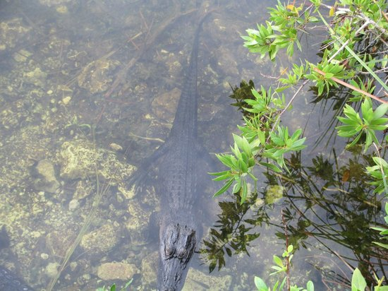 Blue Hole: Gators hanging out