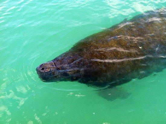 Sarasota Paddleboard Company: see manatees