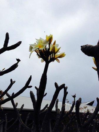 Hotel Victoria: Tipanie,  flor  local  que  usan las isleñas...