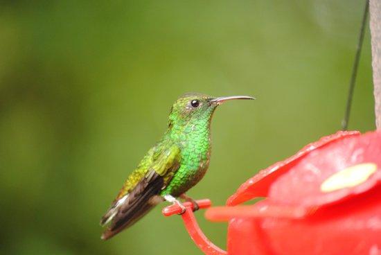 Monteverde Cloud Forest Biological Reserve: humming birds