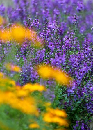 Start Of Lavender Season - Picture Of Lavendar Cottage, Taichung