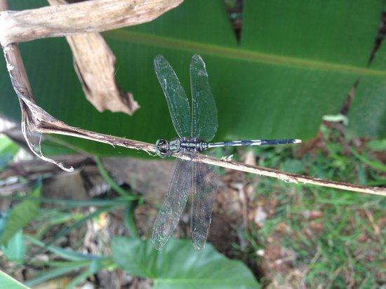 Ayana's Homestay: Dragonfly!