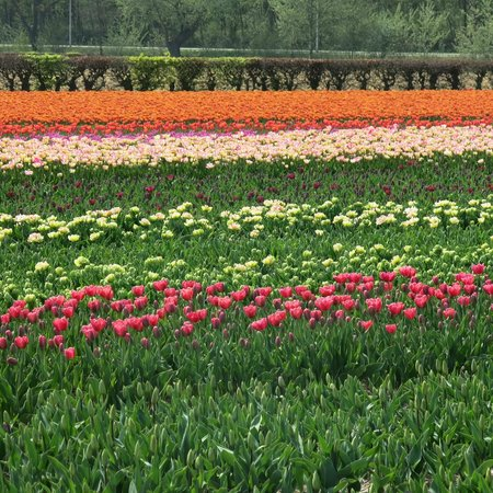 Sunhead of 1617: unreal tulip fields near Keukenhof Gardens