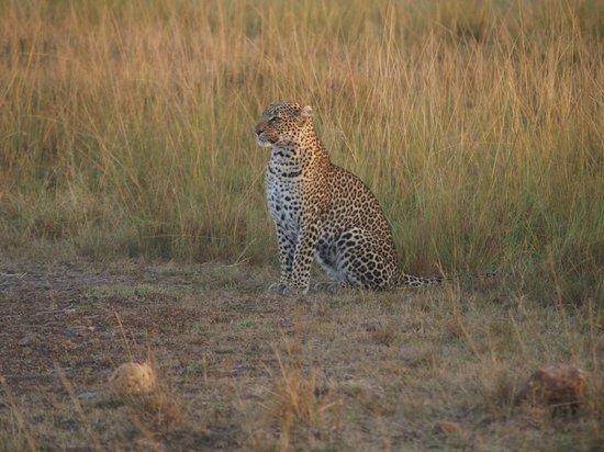 Mara Intrepids Luxury Tented Camp: Rare sighting of a Leopard