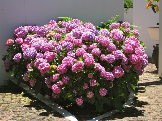 Malvern Manor Country Guest House: Hydrangeas in full bloom