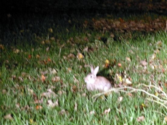 Bunny on lawn of Dundrum House