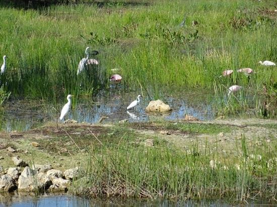 Coconut Point Mall: Roseate Spoonbills and other waders.