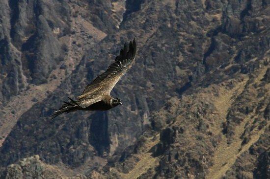 Condor's Cross: Bird
