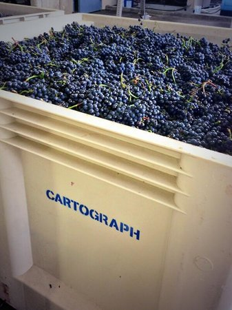 Cartograph Winery : Harvest time
