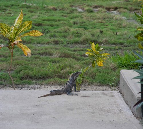 Las Terrazas Resort: Sunning iguana outside of room