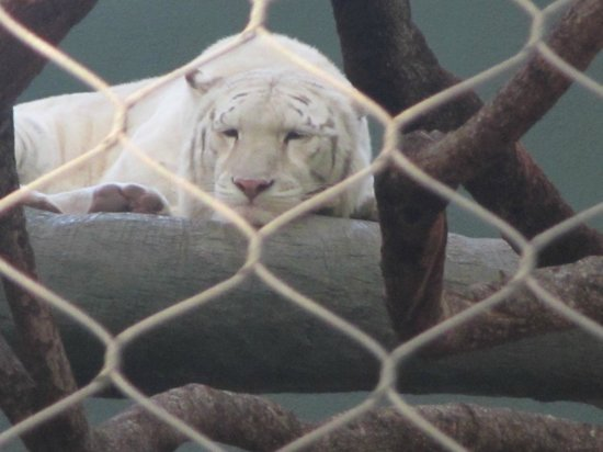 White Tiger Picture Of Siegfried Roy 39 S Secret Garden And Dolphin Habitat Las Vegas