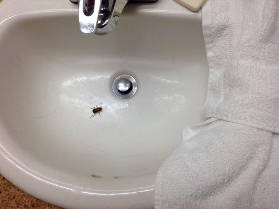 Best Western Plus Palm Desert Resort : Roaches!