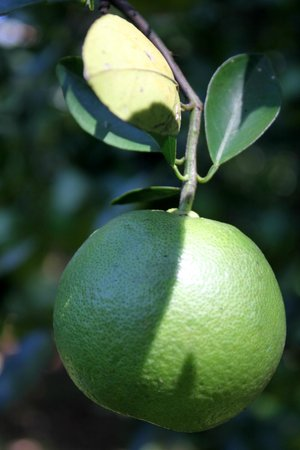 Hotel Trapp Family country Inn: Lime tree on the property