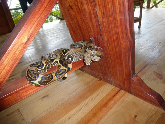 Pirate Cove : boa constrictor during lunch