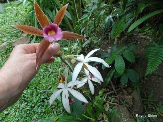 Santa Fe, Panama: A variety of orchids are grown