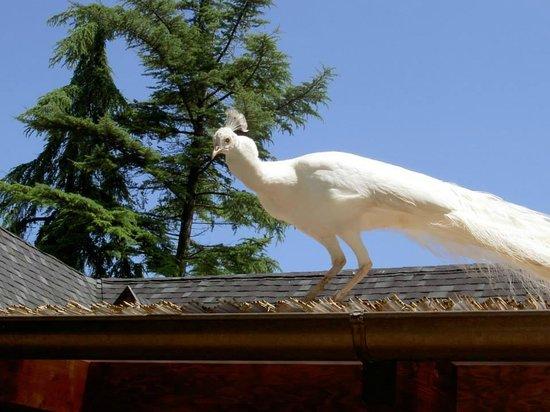 Pavone Bianco - Picture of Agriturismo La Cerra, Tivoli - TripAdvisor