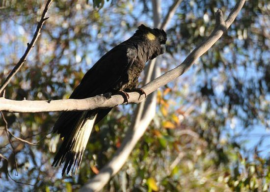Jemby-Rinjah Eco Lodge : Black Cockatoo
