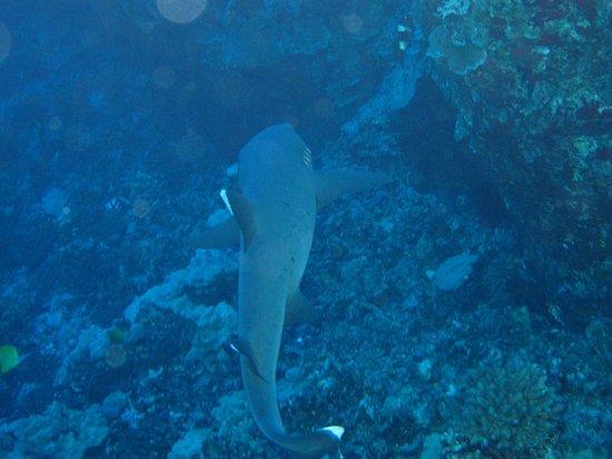 The Scuba Shack: White tip shark at Molokini