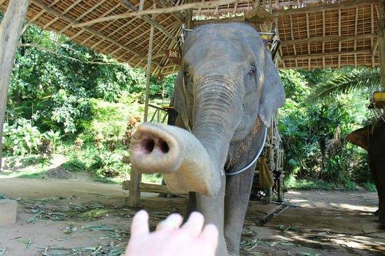 KokChang Safari Elephant Trekking: Feed me!