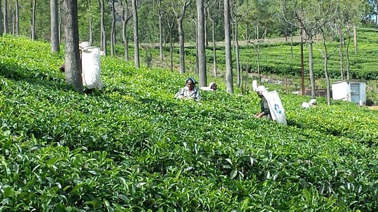 Farview Mountain Resort Villas : Tea Pickers outside our villa