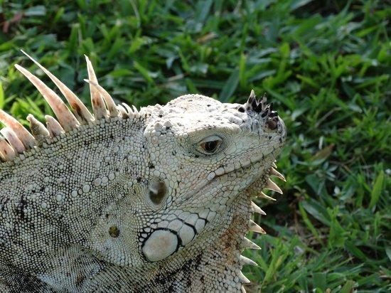 Palm Island Resort & Spa: George the Iguana
